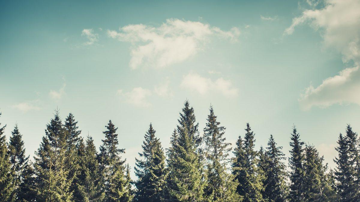 Pine tree forrest